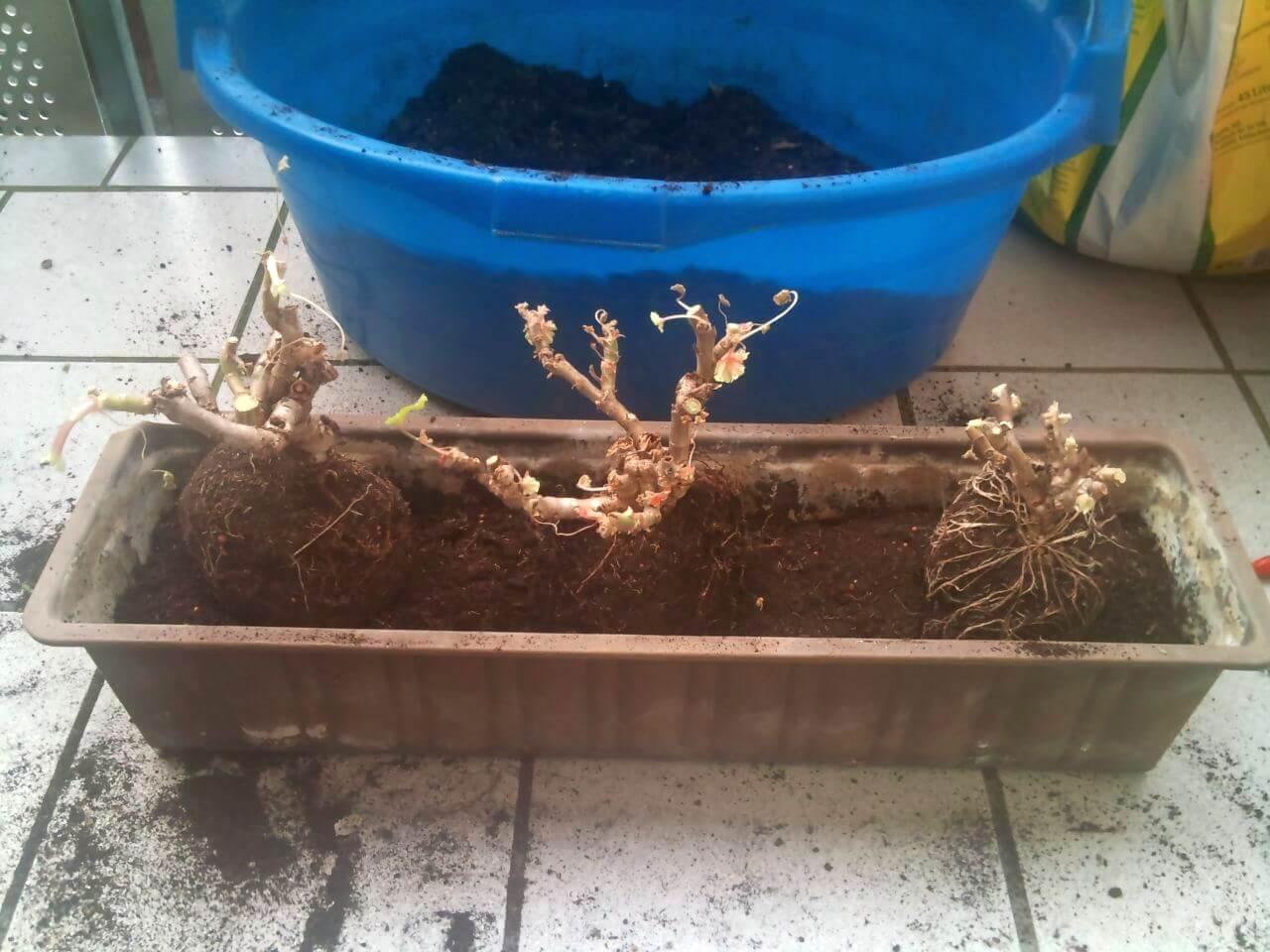 Geranien und pelargonien zur ckschneiden for Geranien pflanzen