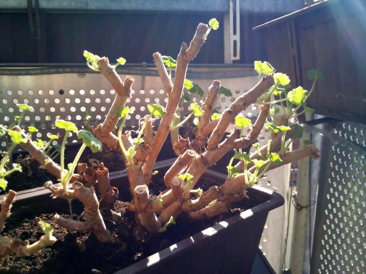 geranien pflanzen pelargonien einpflanzen. Black Bedroom Furniture Sets. Home Design Ideas