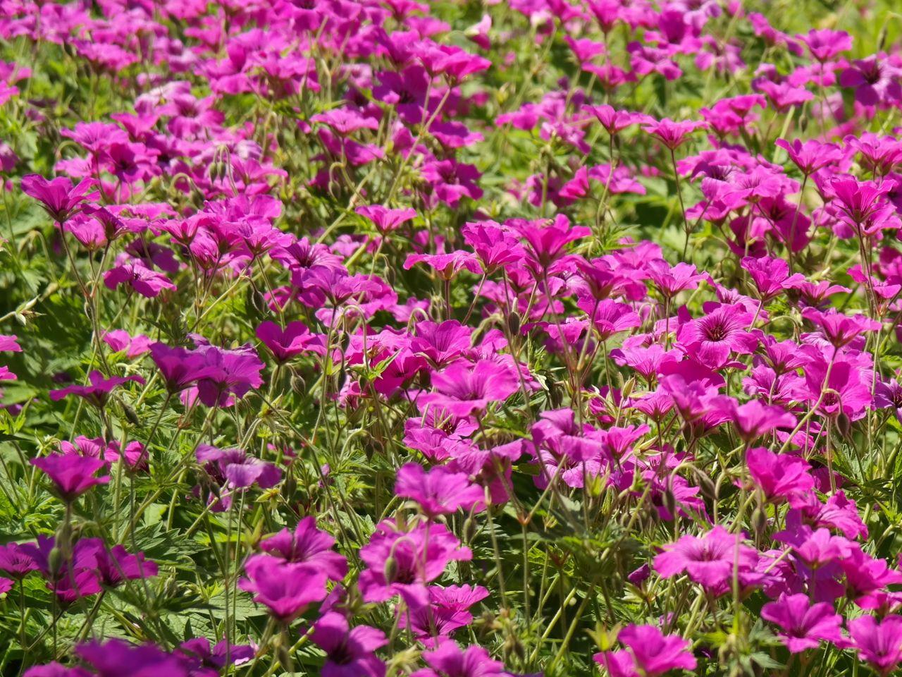 Was ist eine geranie was eine pelargonie for Geranien pflanzen